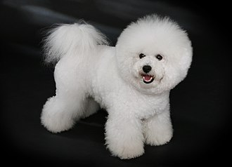 Toy dog - The Bichon Frisé is an example of a toy dog that requires considerable grooming.