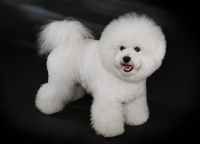 Bichon Frise small dog