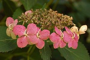 Bigleaf Hydrangeaen (Hydrangea macrophylla)