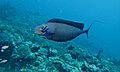 Bignose Unicornfish (Naso vlamingii) (6130014939).jpg