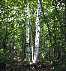 Birch in Kamikochi.jpg