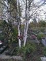 Birches near the grave of Bashlachev.jpg