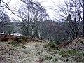 Birchwoods near Balnagown - geograph.org.uk - 653253.jpg