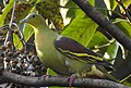 Birds Ashy Headed Green Pigeon (cropped).jpg