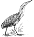 Bittern (PSF).png