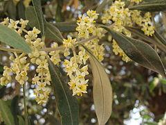 Olivenbaum – Wikipedia