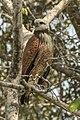 Black-collared hawk (Busarellus nigricollis) immature.JPG