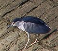 Black-crowned Night Heron-20050330.jpg