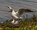 Black-headed Gulls Mating - Third (Final) (17603264413).jpg
