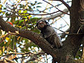Black-tufted marmoset UFMG Brazil.jpg