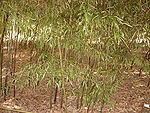 Black Bamboo - Phyllostachys Nigra Var Punctacta - Poaceae - China - Small Group.JPG