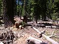 Black Bear- Ursus americanus (9401051305).jpg