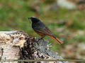 Black Redstart (Phoenicurus ochruros) (20625321392).jpg