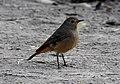 Black Redstart Phoenicurus ochruros female by Dr. Raju Kasambe DSCN1187 (15).jpg