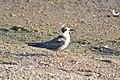Black Tern (Chlidonias niger) (15275595526).jpg
