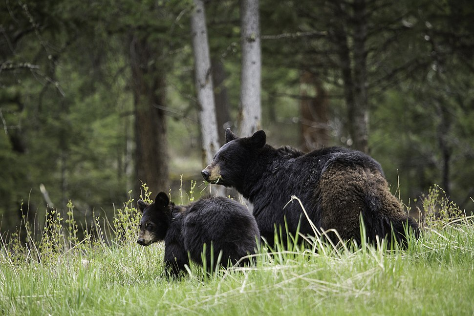 Black bear sow with cub, Tower Fall (18393659291)