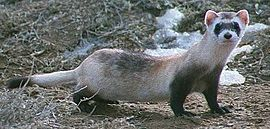 Black footed ferret cropped.jpg