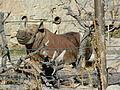 Black rhino cheyenne mountain zoo.JPG