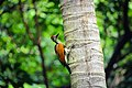 Black rumped flameback.jpg