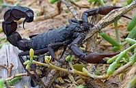 Escorpião-negro (Androctonus crassicauda)