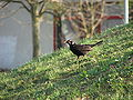 Blackbird, partly leucistic.JPG