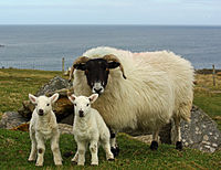 Blackface ewe and Cheviot-cross lambs.jpg