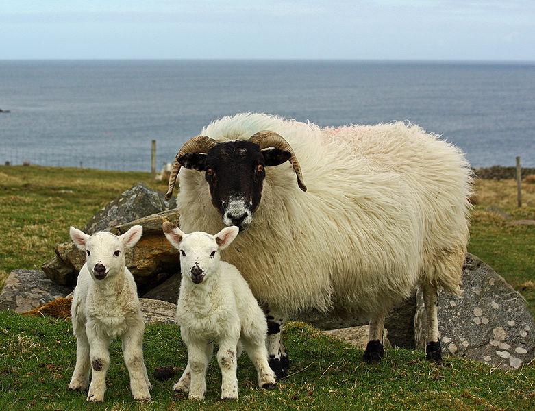 fileblackface ewe and cheviotcross lambsjpg wikimedia