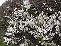 Blackthorn Blossom - geograph.org.uk - 151250.jpg