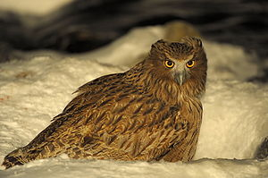 Blakiston's fish owl - A Blakiston's fish owl hunting during winter.