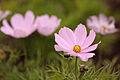 Blossom (3761593902).jpg