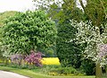 Blossom Time, near Kingswood, Staffordshire - geograph.org.uk - 803324.jpg