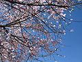 Blossom of Peach (4391499291).jpg