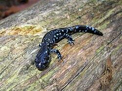 Une salamandre à points bleus, sur un tronc d'arbre mort, à Cloverdale, dans le Wisconsin, aux États-Unis