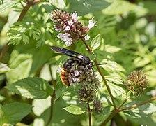 Blue-winged wasp (13533).jpg