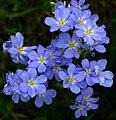 Blue Eyed Grass -- Sisyrinchium.jpg