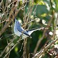 Blue Gray Gnatcatcher (5005682112).jpg