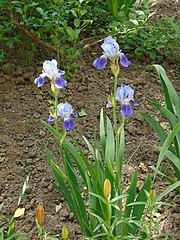 Blue Irises (Kazan).JPG