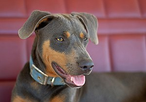 Blue Lacy - Blue and Tan Lacy