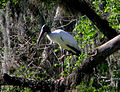 Blue Spring SP - Wood Stork.jpg