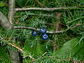 Blue bead lily (Whitefish Island) 2.JPG