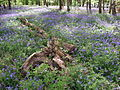 BluebellsWood2DoverenGermany2008.jpg
