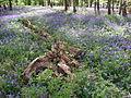 BluebellsWood2DoverenGermany2008.jpg