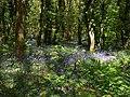 Bluebells in Unity Wood - geograph.org.uk - 1314839.jpg