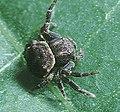 Boliscus.tuberculatus.male.-.tanikawa.jpg