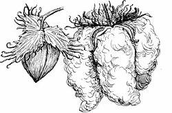 Aspecto do fruto antes e depois da abertura.