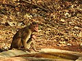 Bonnet Macaque Macaca radiata with young by Dr. Raju Kasambe DSCN0473 (9).jpg