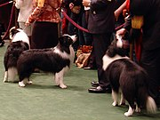 These Border Collies at the 2007 Westminster Kennel Club Dog Show are very uniform in appearance, with heavy coats and nearly identical markings