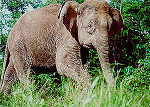 Elephant in Borneo rainforest