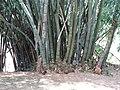 Botanical Garden of Peradeniya 75.JPG