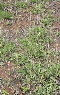 <i>Bothriochloa</i> Genus of plants